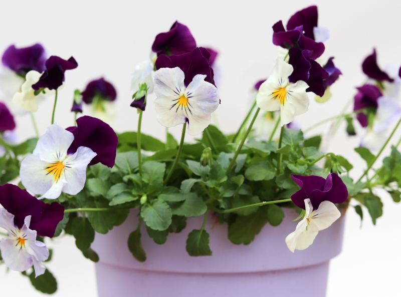 Pansy Cool Wave 19cm